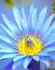Ancient Wisdom: The Blue Lotus